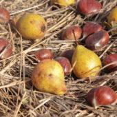 Des fruits anciens régionaux sortent de l'anonymat