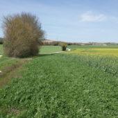 Bandes fleuries le long des champs: encourager le développement des insectes au service des cultures