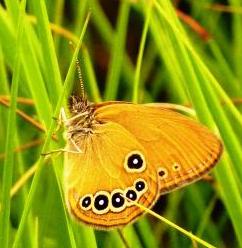 Un papillon fadet des laiches